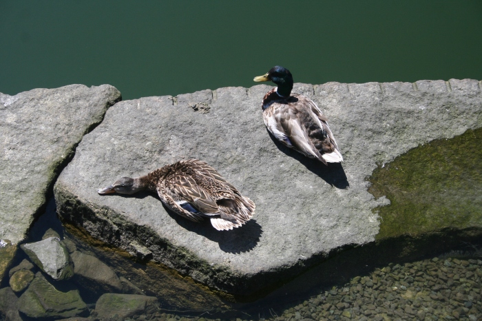 ducks-on-a-rock